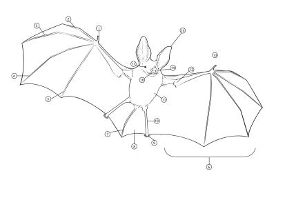 Bat Anatomy LMOORE