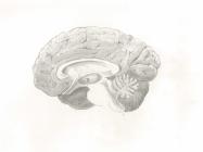 Brain Cut Sketch LMOORE