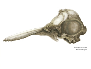 Dolphin Skull LMOORE
